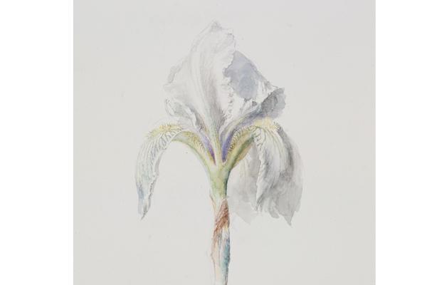 John Ruskin, Fleur-de-Lys ('Iris Florentina')